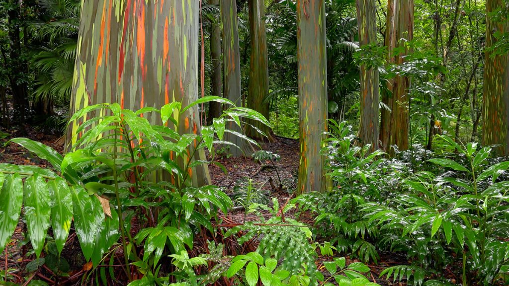 Hawaiian Jungle